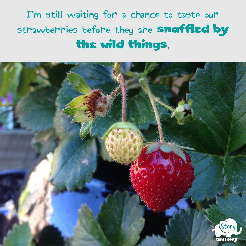 I'm still waiting for a chance to taste our strawberries before they are staffled by the wild things.